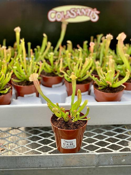 Sarracinea Trumpet Pitcher Carnivorous Plant