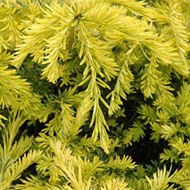 Taxus x media 'Sunburst' Yew