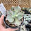 Thumbnail: Echeveria 'Giant Blue'