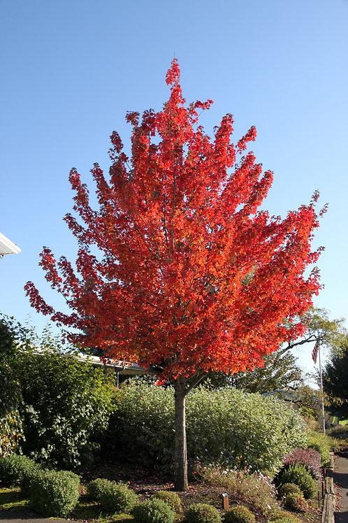 Acer rubrum 'Frank Jr.' Redpointe Maple Tree