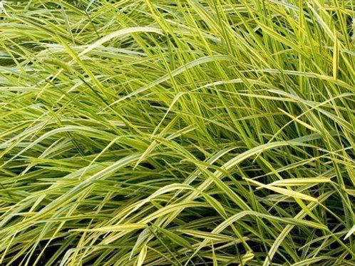 Alopecurus pratensis 'Aureovariegatus' Variegated Foxtail Grass