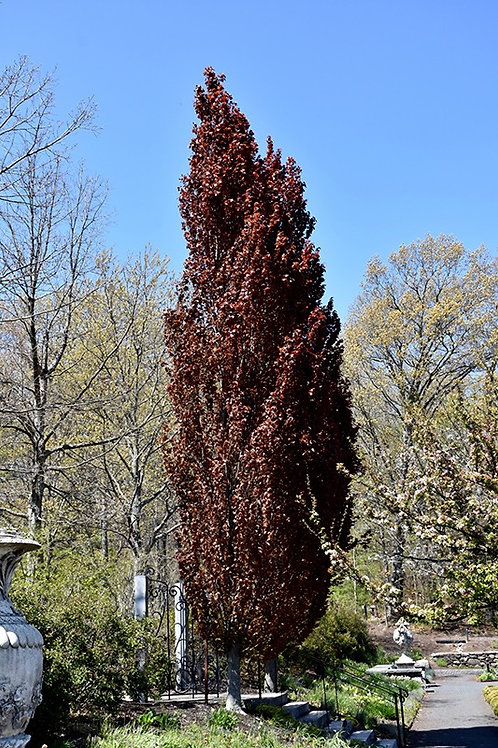Fagus sylvatica 'Red Obelisk' Beech