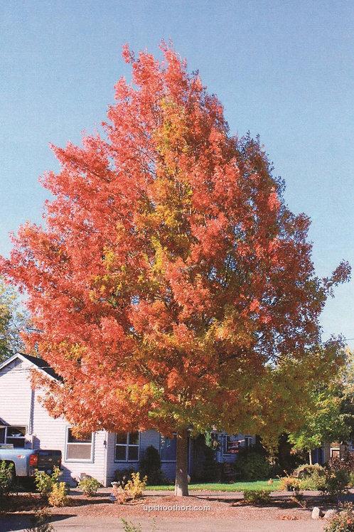 Quercus palustris 'Pacific Brilliance' Oak