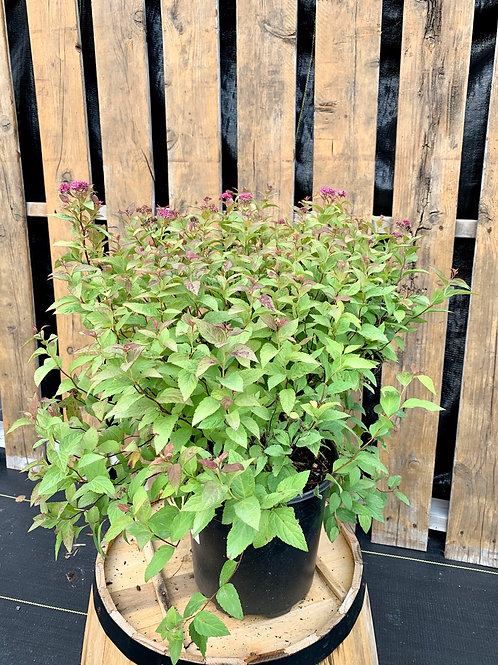 Spirea 'Gold Flame'