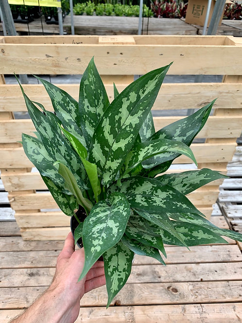 Aglaonema Emerald Beauty 'Maria'