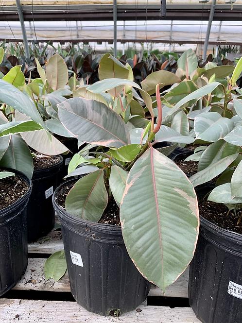 Ficus Elastica 'Ruby' Rubber Plant