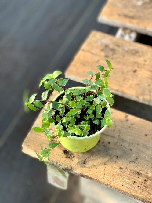 Callisia Repens 'Afro Plant'