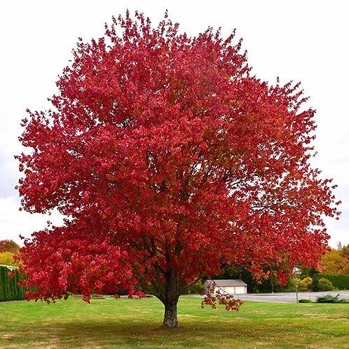 Acer rubrum 'Franksred' Red Sunset