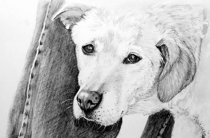 Pencil drawing of a yellow labrador