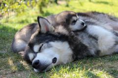 Blacksummit Alaskan Malamutes Puppies