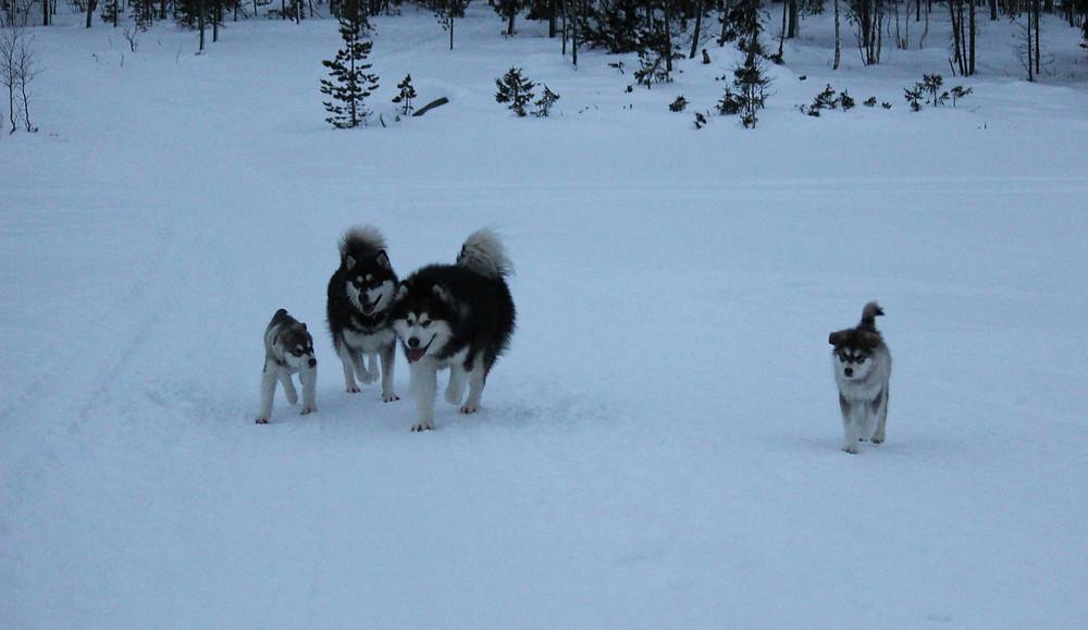 BlackSummit Alaskan Malamutes UK