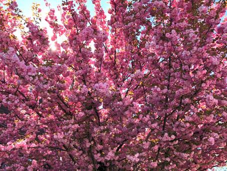 The Sour Cherry Tree During Quarantine