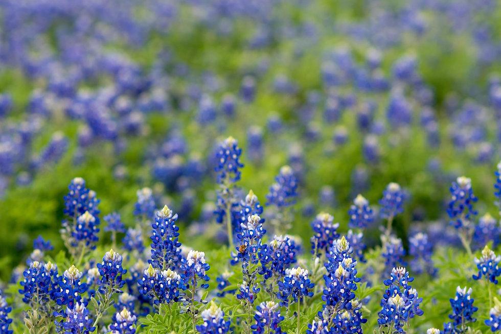 Canva - Field of Texas Bluebonnet.jpg