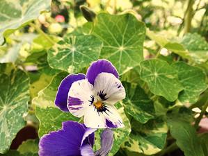 Grows: Edible Flowers