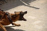chien agressif.jpg