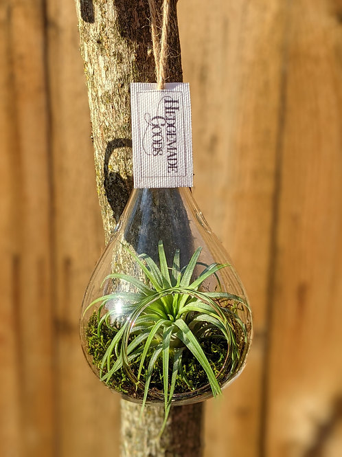 Air Plant with Teardrop Glass Holder