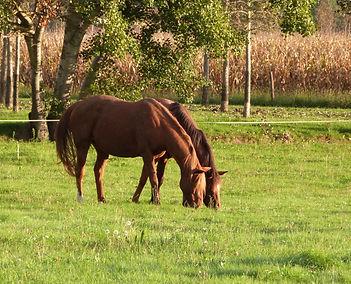 chevaux dans le pré