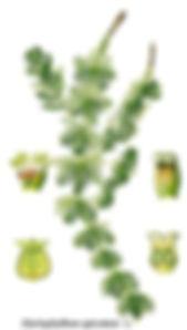 Myriophille 1.jpg