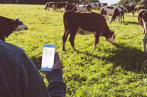 des vaches dans un champ avec un humain tenant dans sa main un smartphone