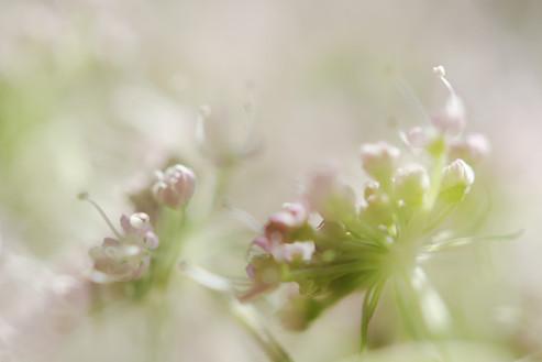 Engelwurz, Angelika - Blüte