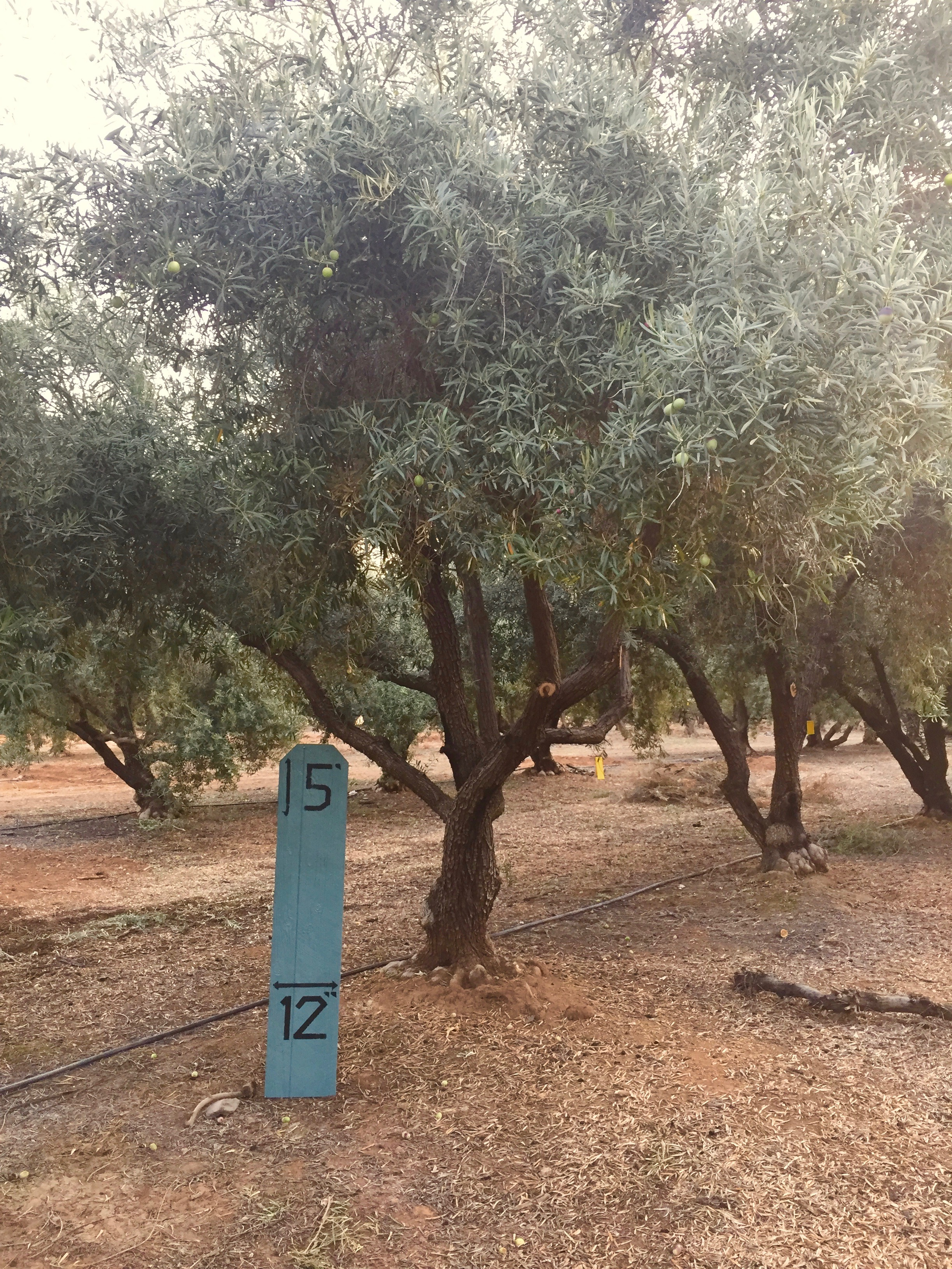 Medium Sevellano Olive Tree 1