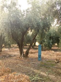 XXLarge Olive Tree Image 2