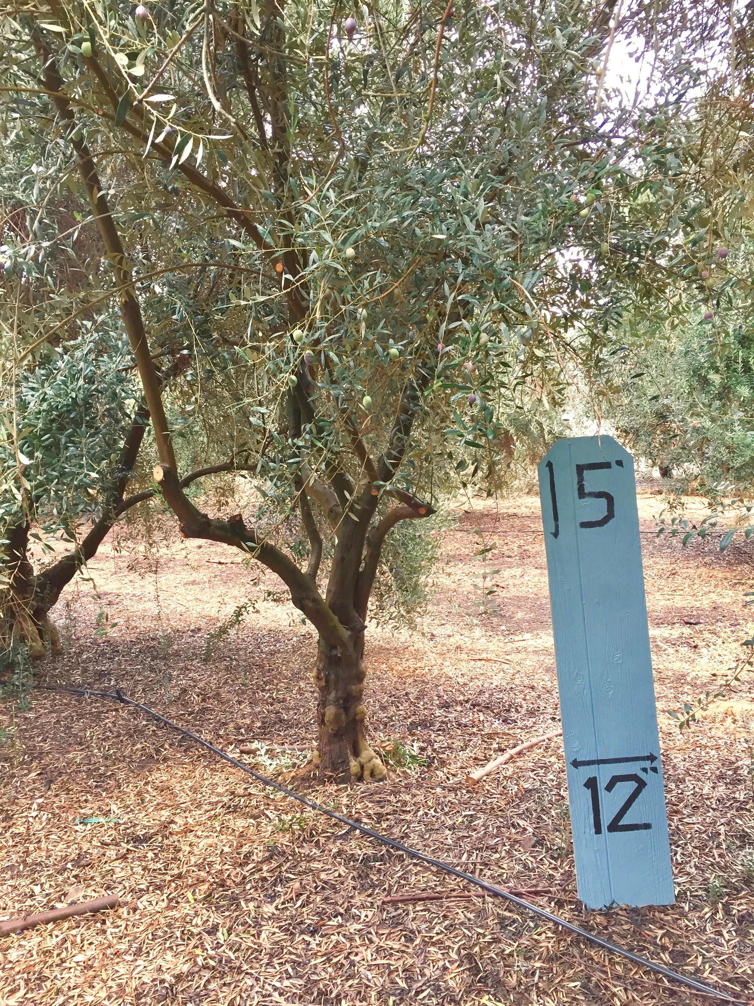 Small Manzanillo Olive Tree 2