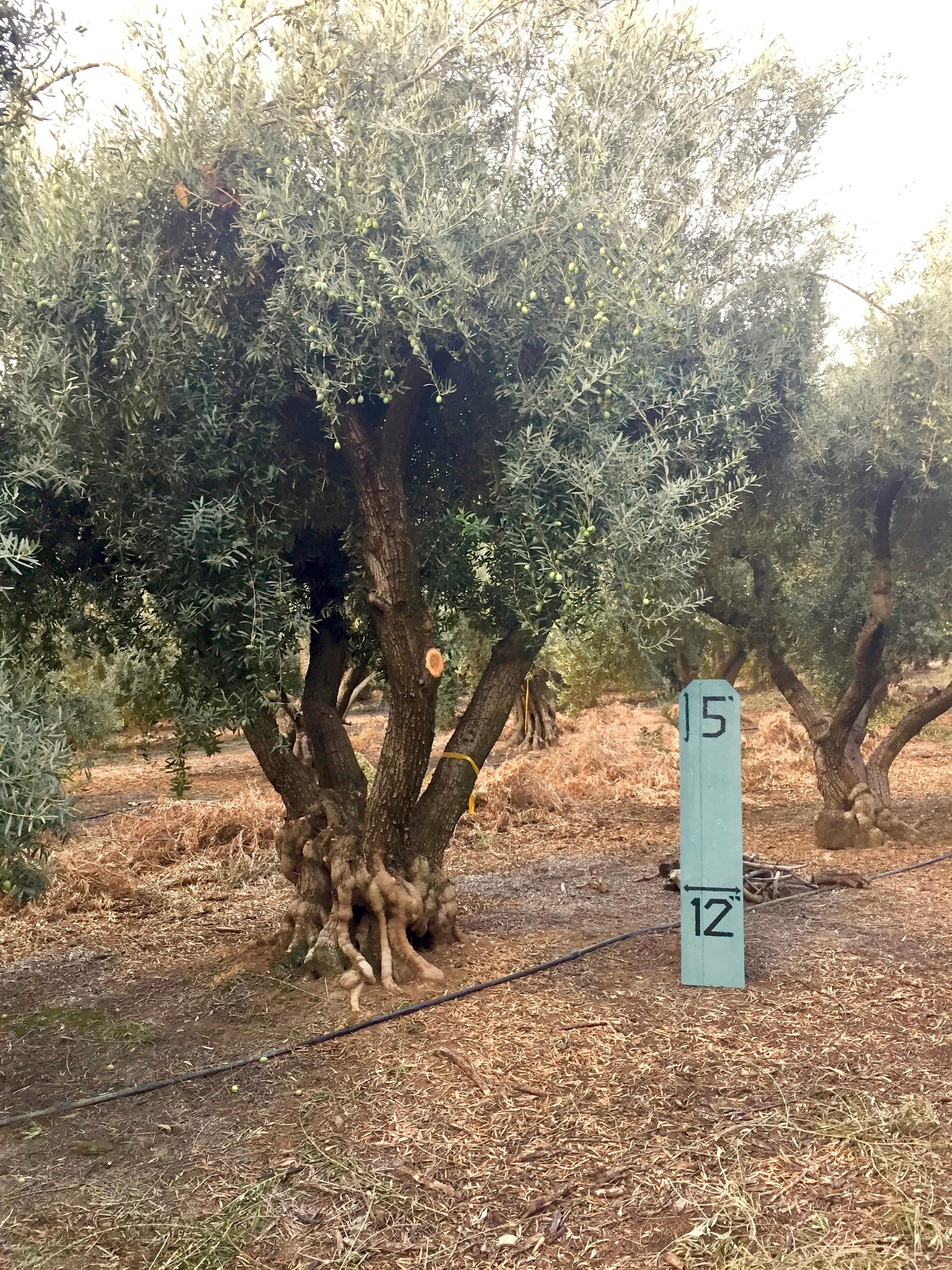 XXLarge Olive Tree image 1