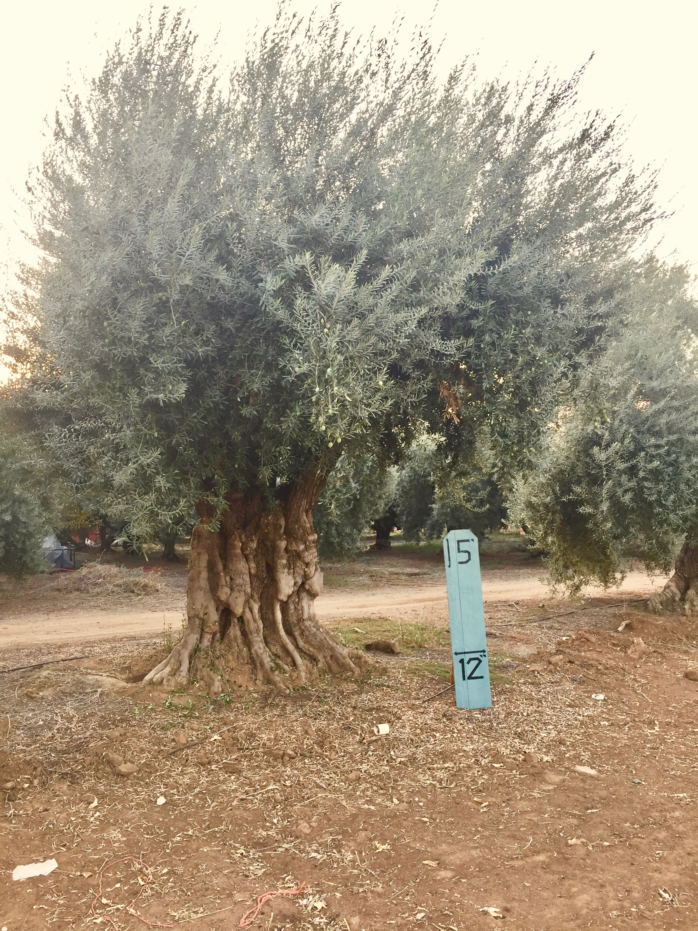 Giant Queen Sevellano Olive 4