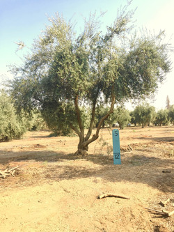 Large Manzanillo Olive Tree 3