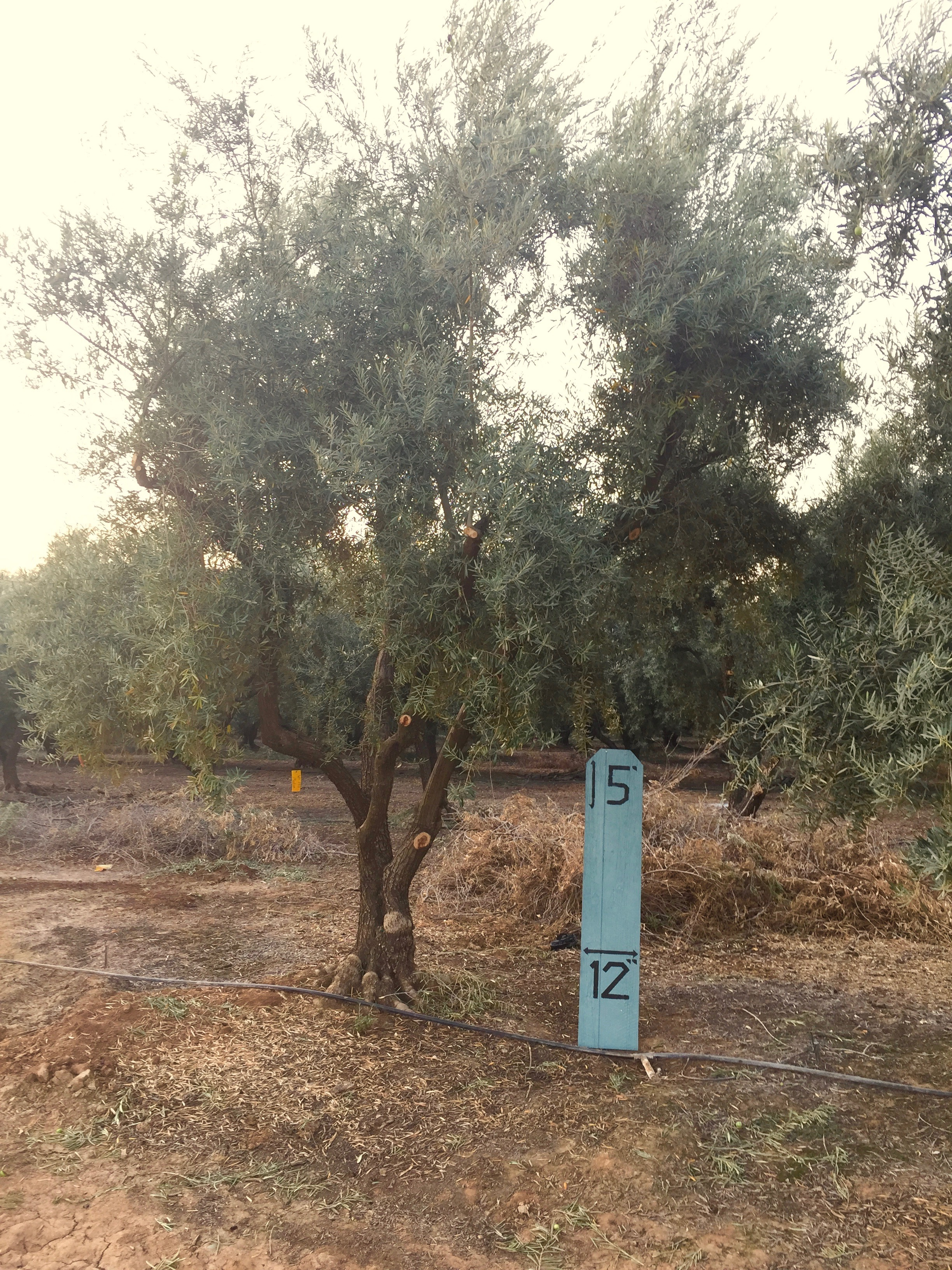 Medium Sevellano Olive Tree 3
