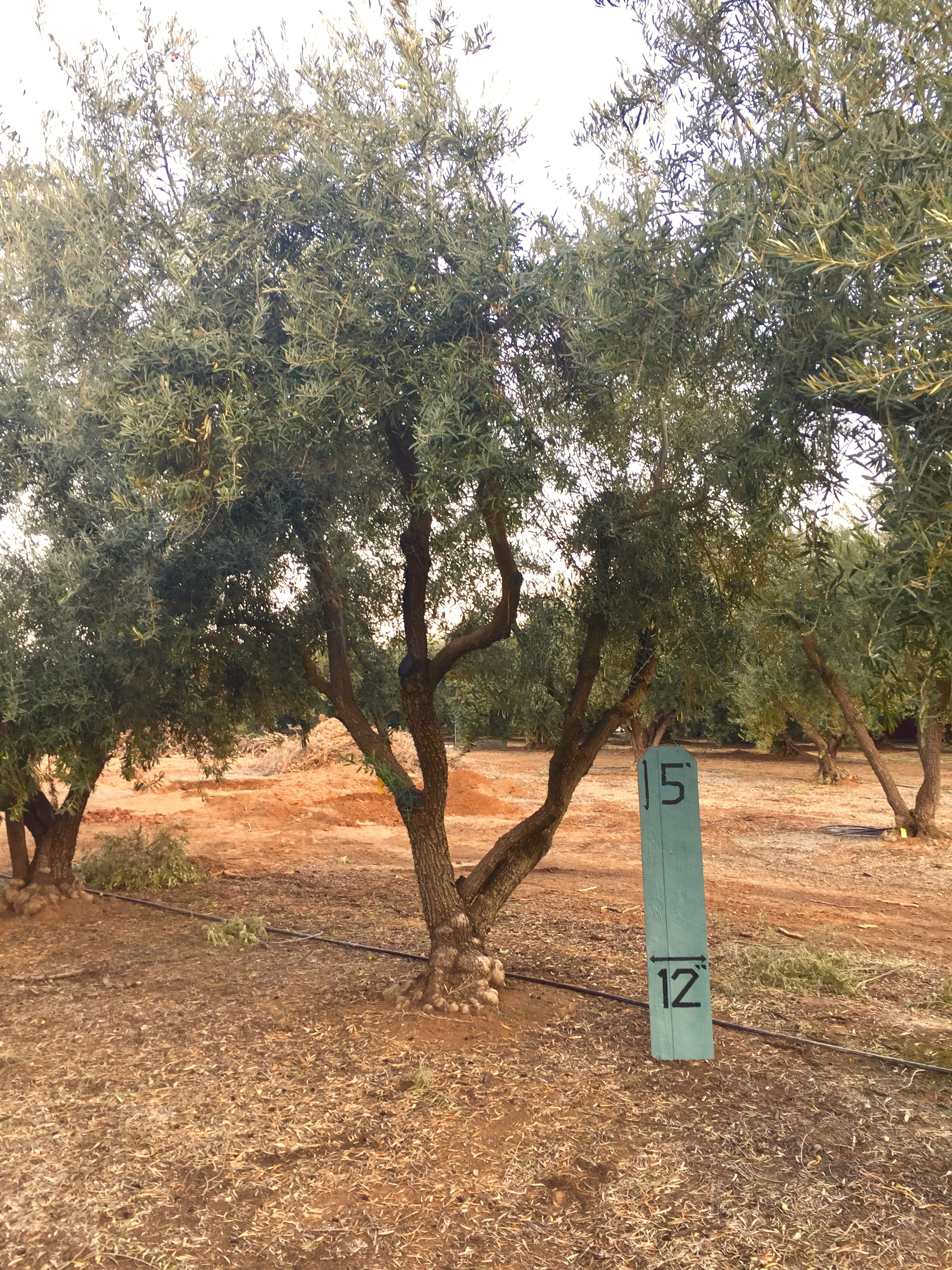 Medium Sevellano Olive Tree 2