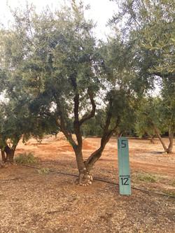 Medium Sevellano Olive Tree 2