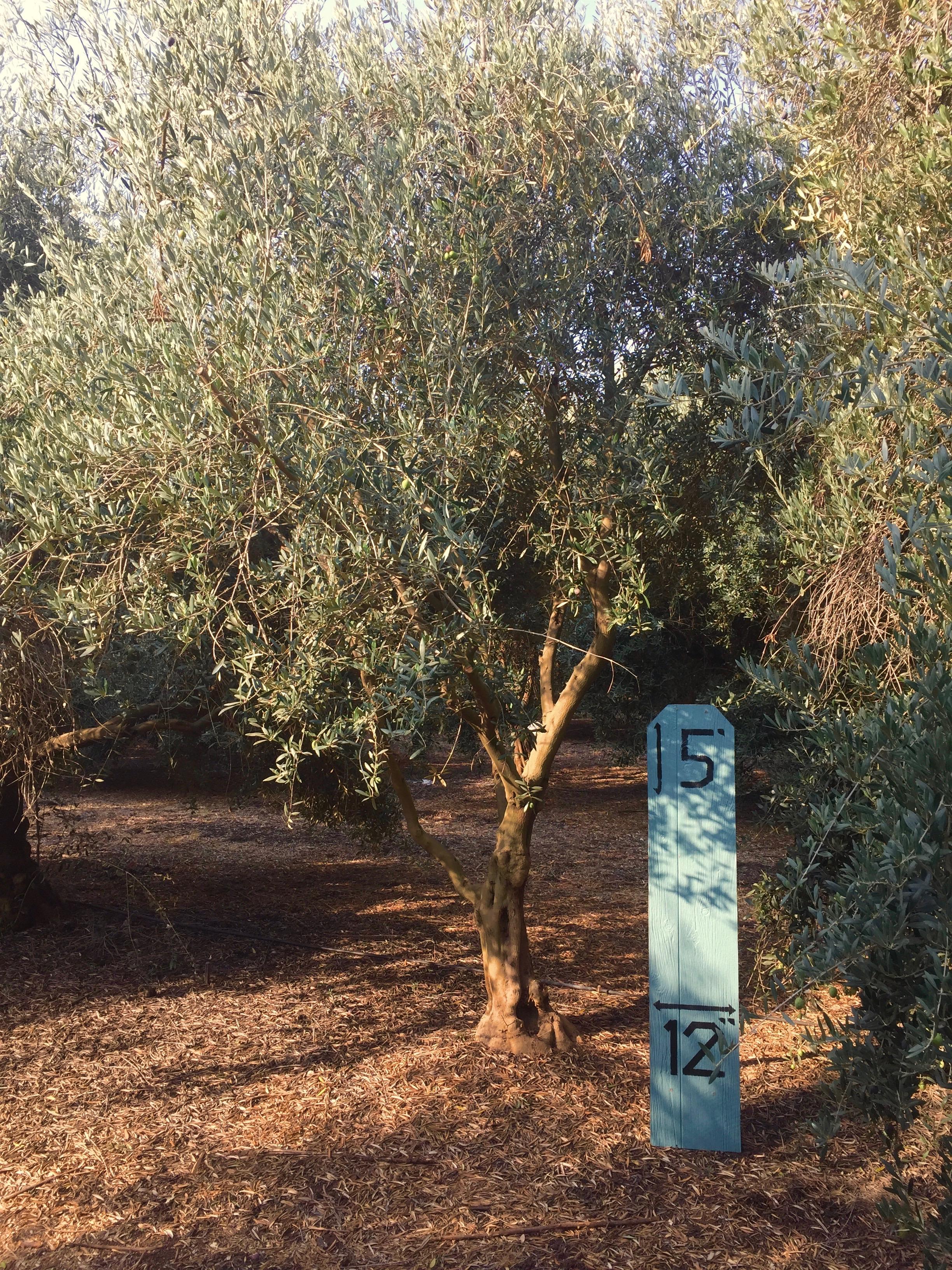 Small Manzanillo Olive Tree 1