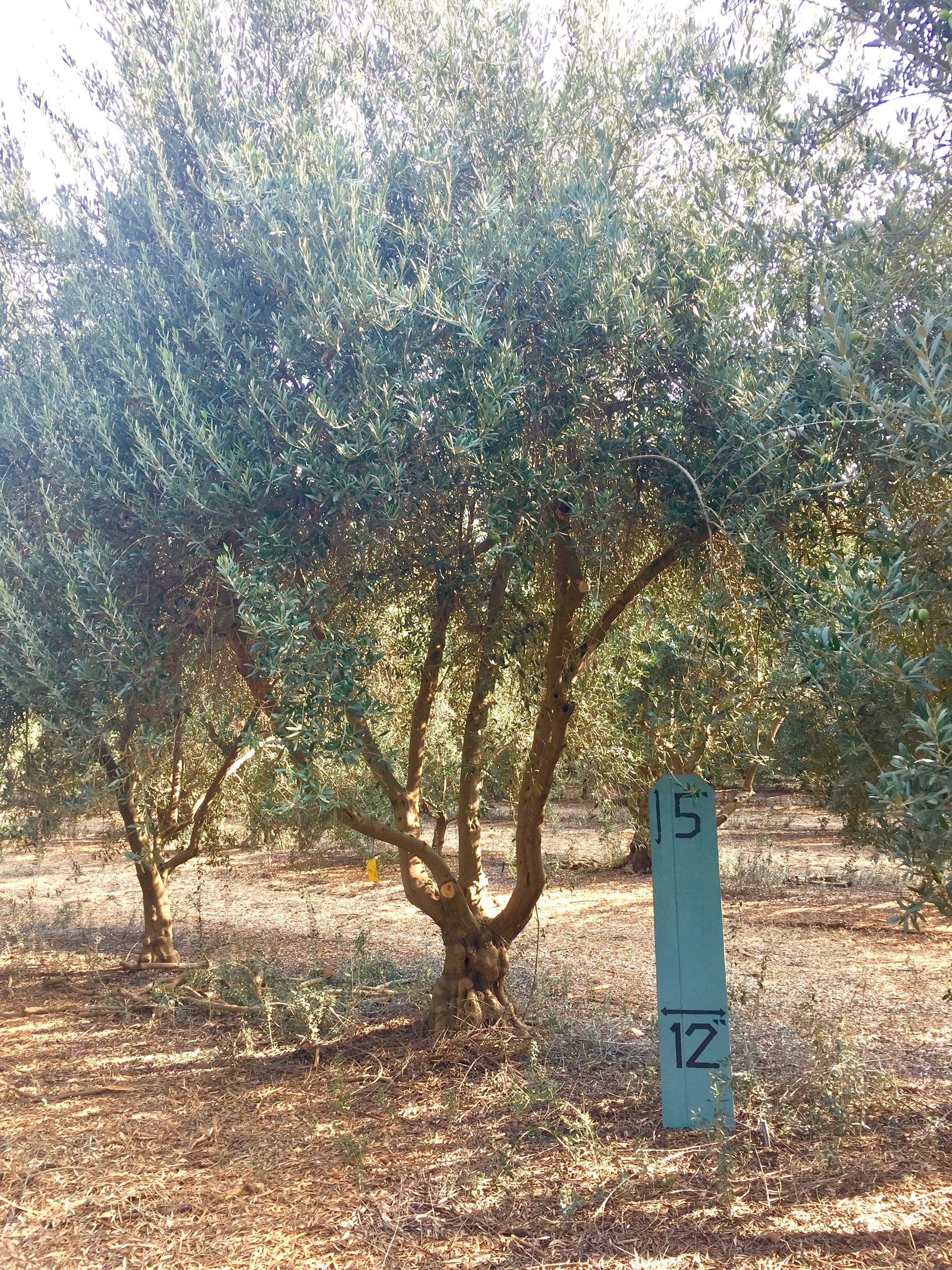 Medium Manzanillo Olive Tree 3
