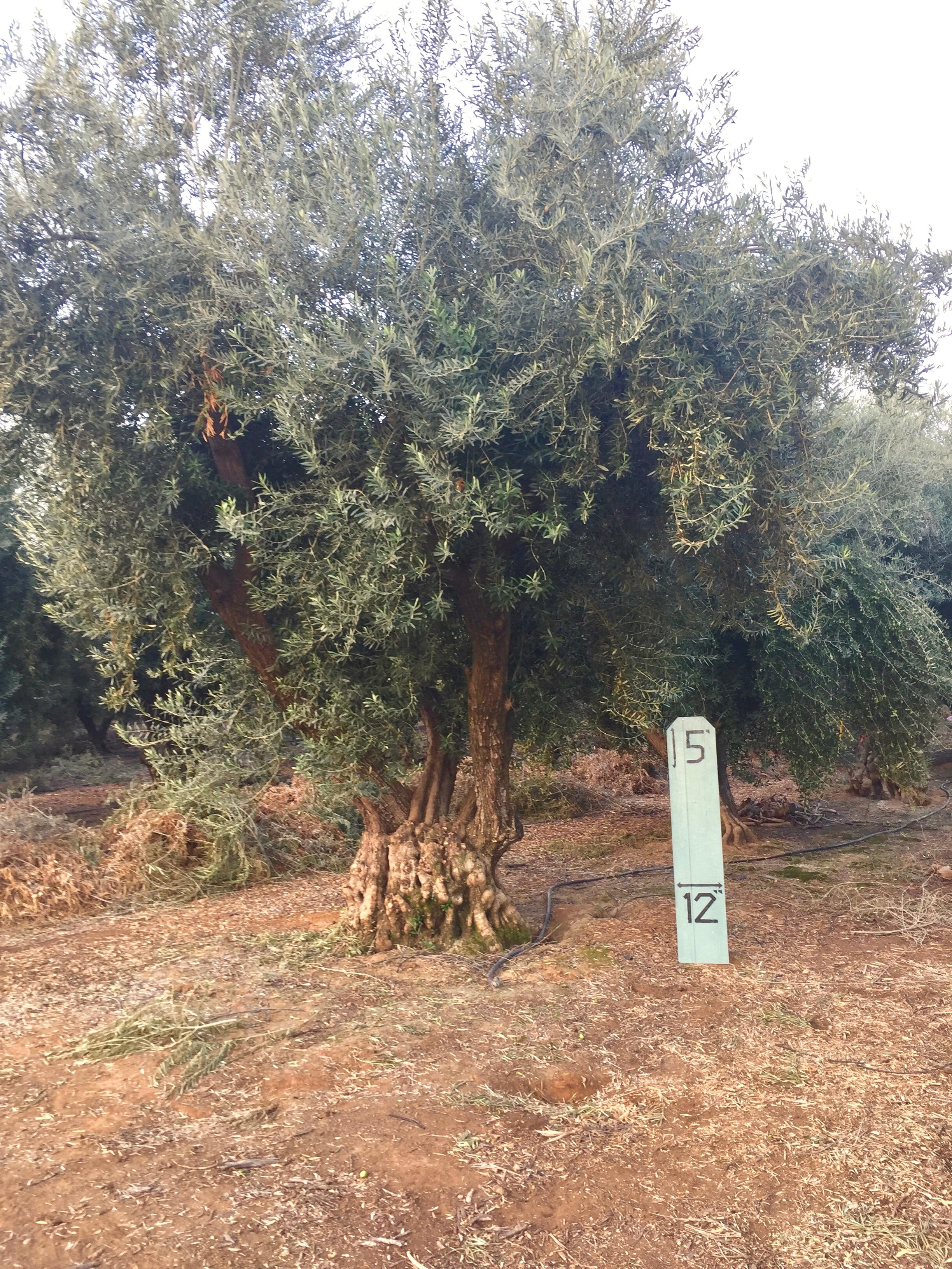 XXLarge Olive Tree Image 3