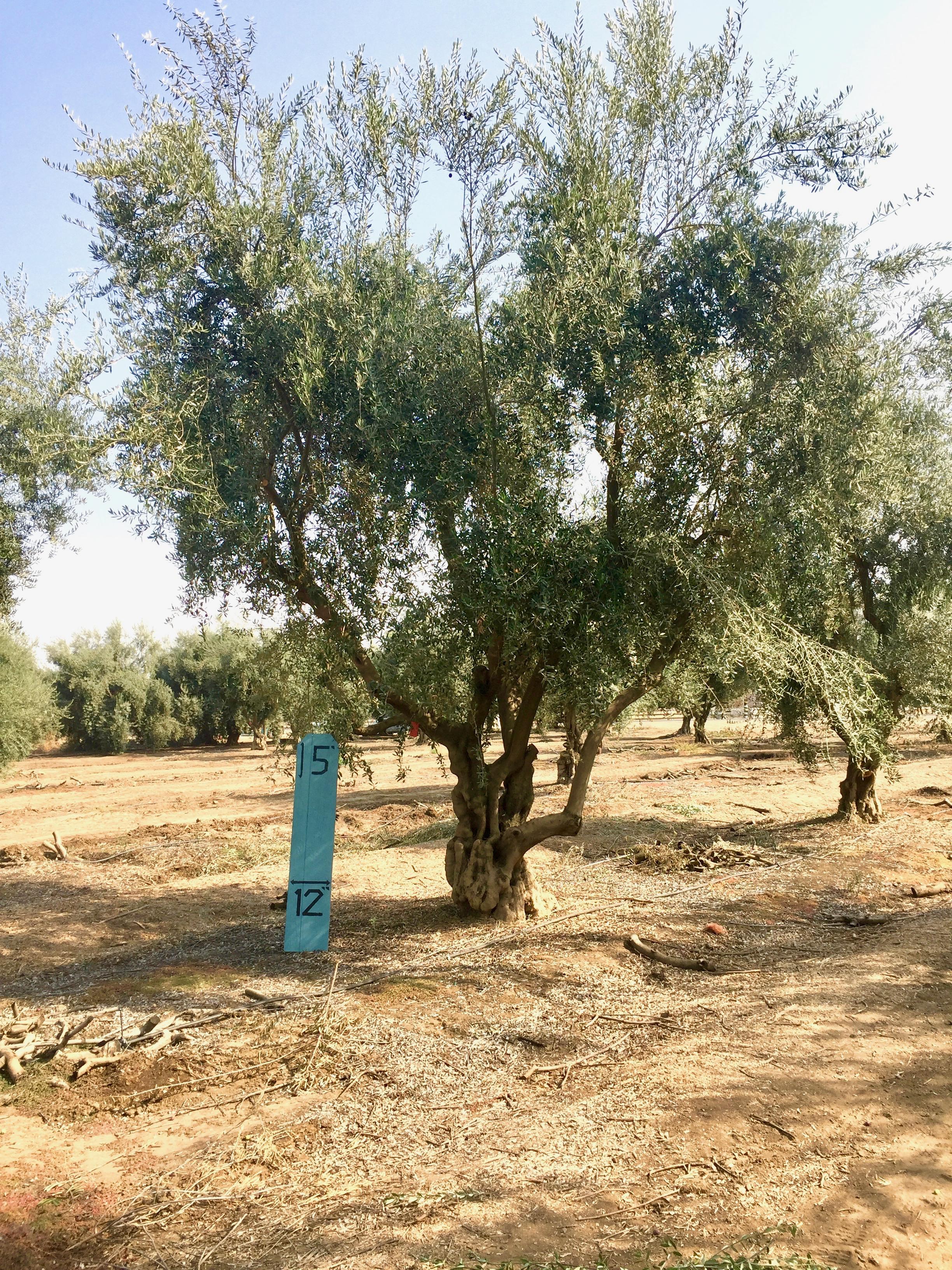 XLarge Olive Tree Image 3