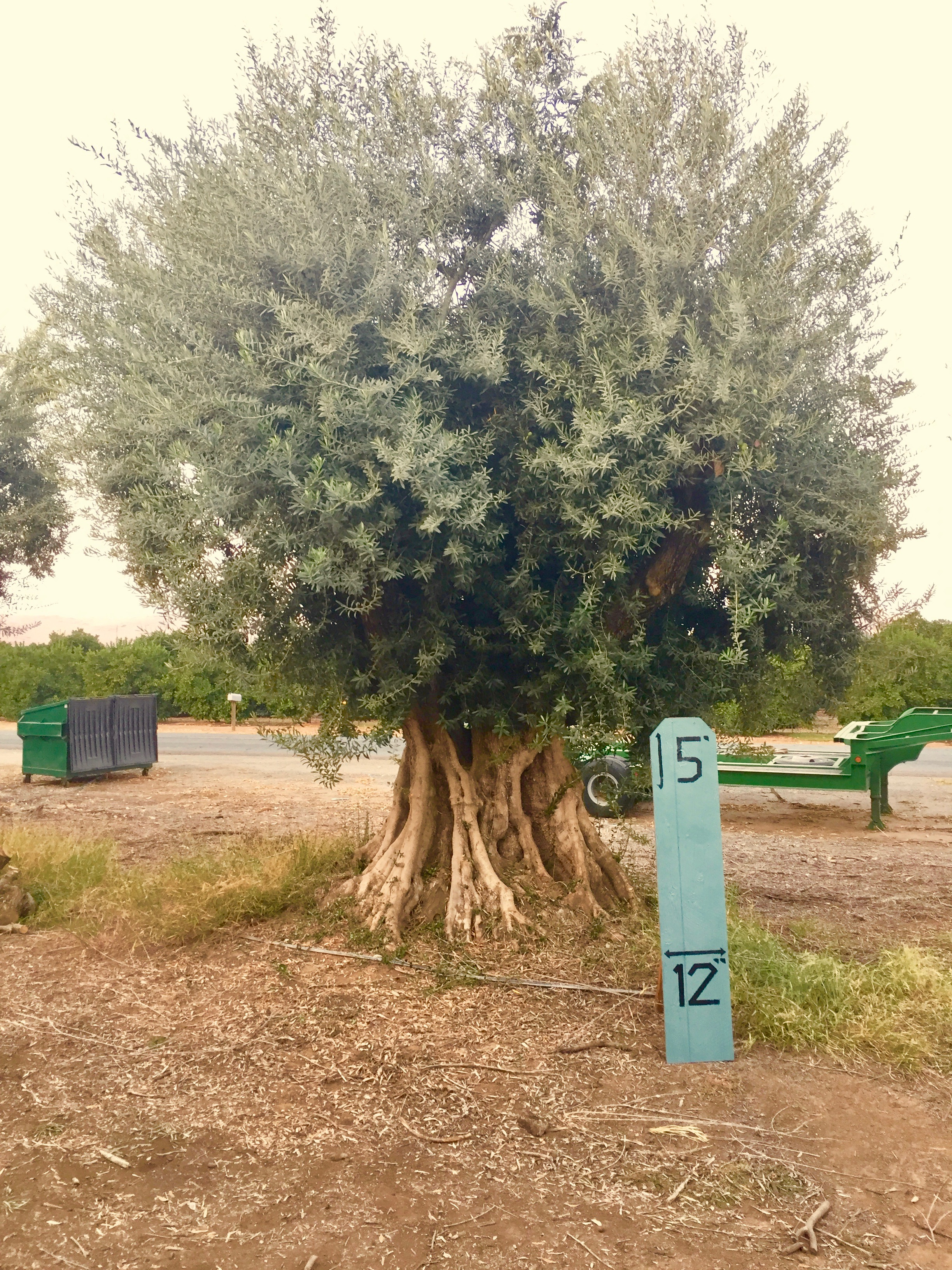 Giant Queen Sevellano Olive 1