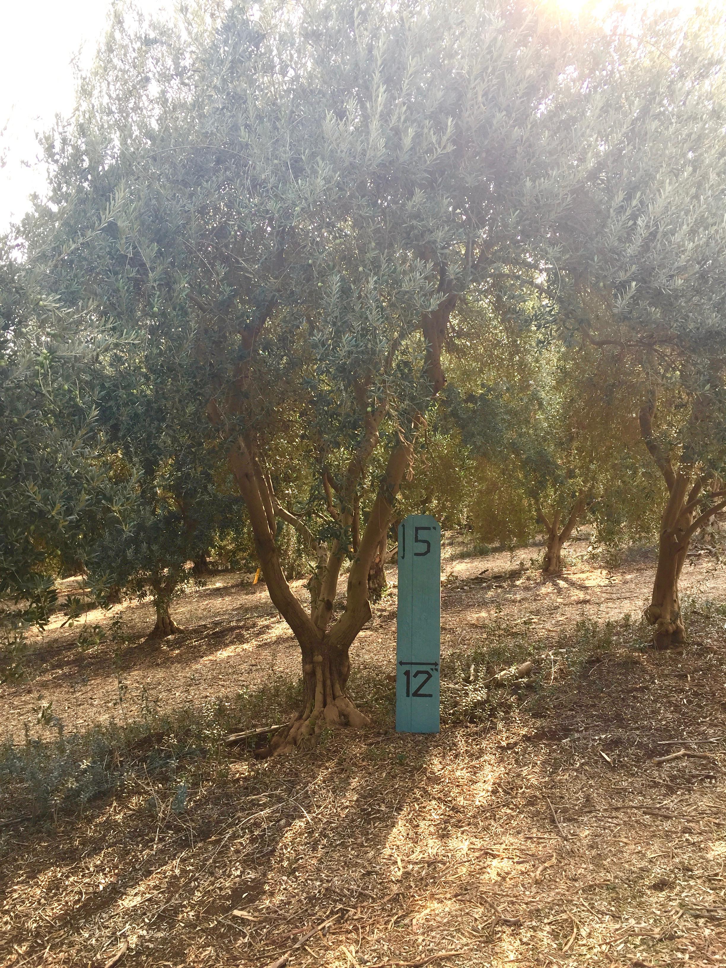 Medium Manzanillo Olive Tree 2