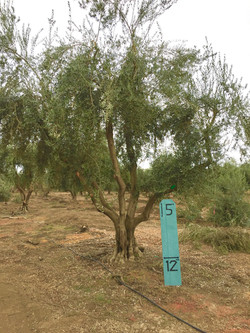 Large Manzanillo Olive Tree 1