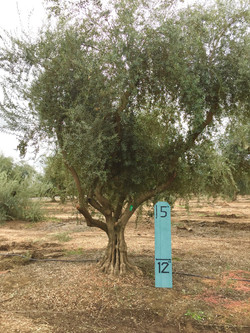 Large Manzanillo Olive Tree 2