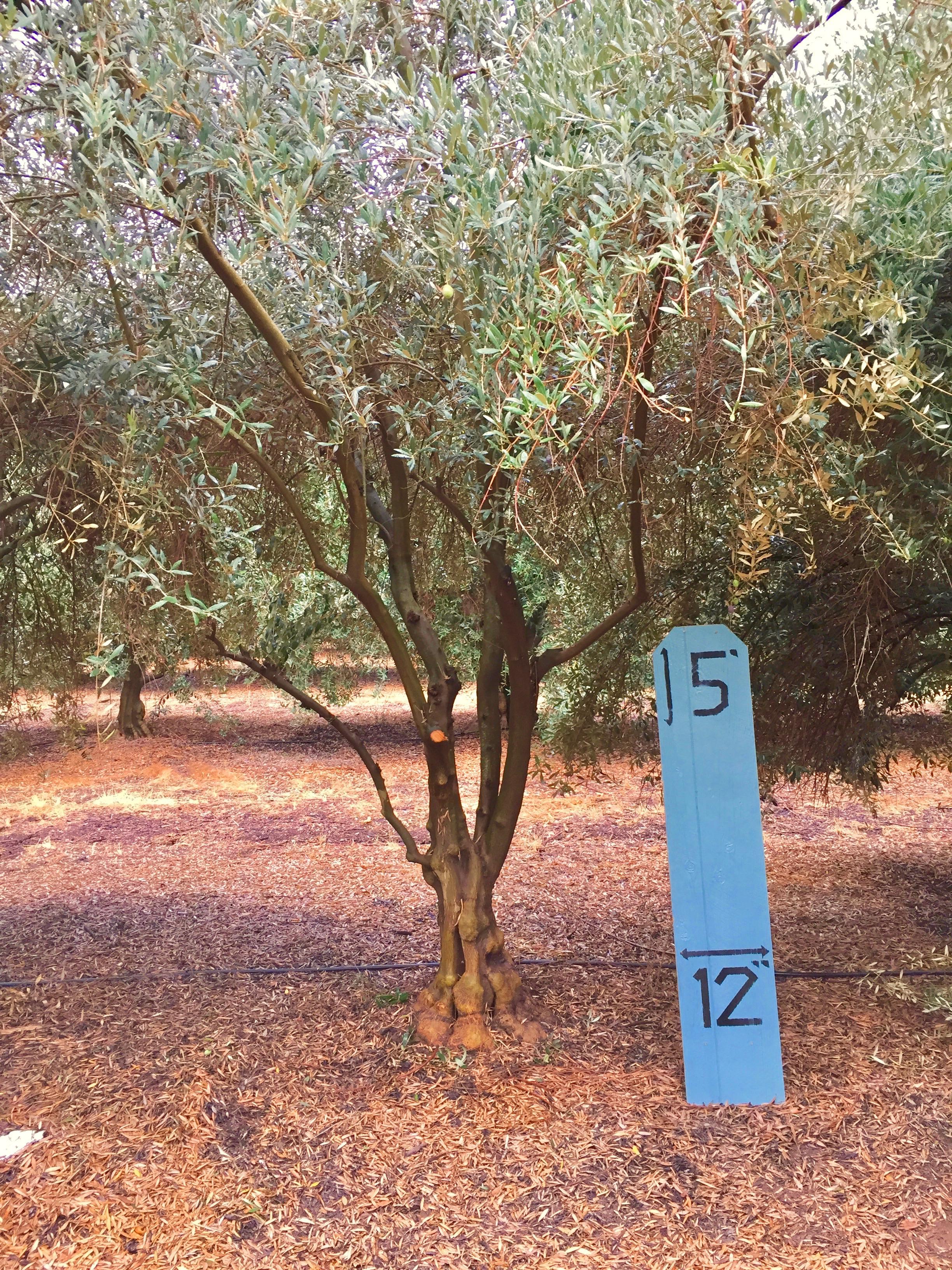 Small Manzanillo Olive Tree 3