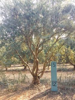 Medium Manzanillo Olive Tree 1