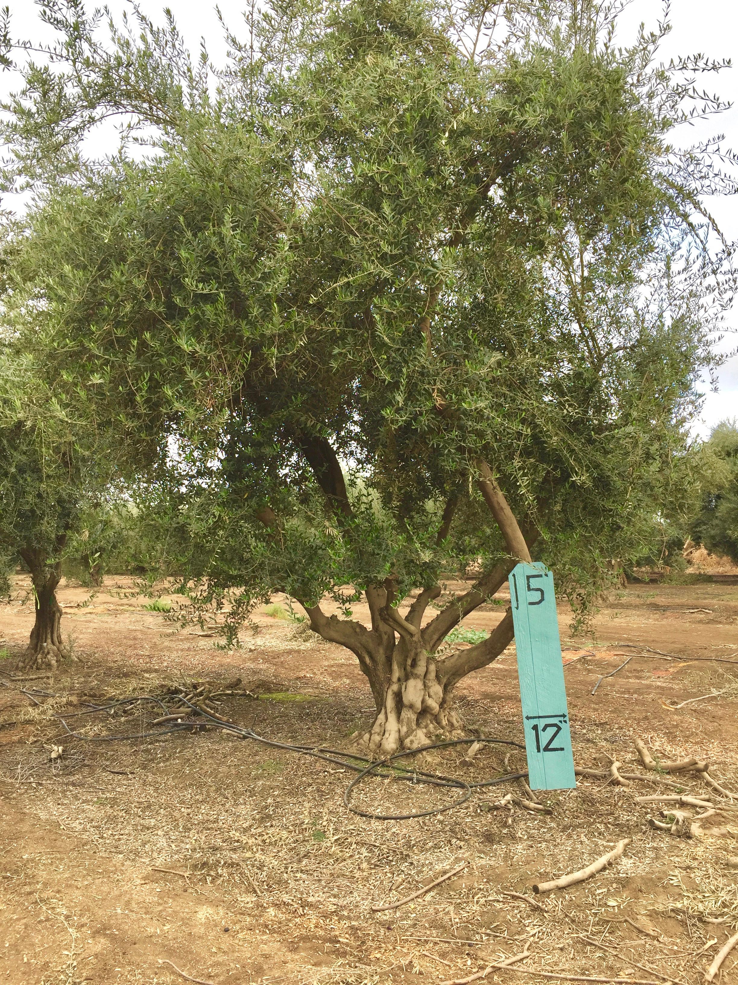 XLarge Olive Tree Image 1