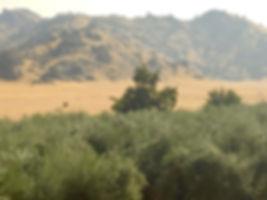 Olive Tree Tops in Woodlake California
