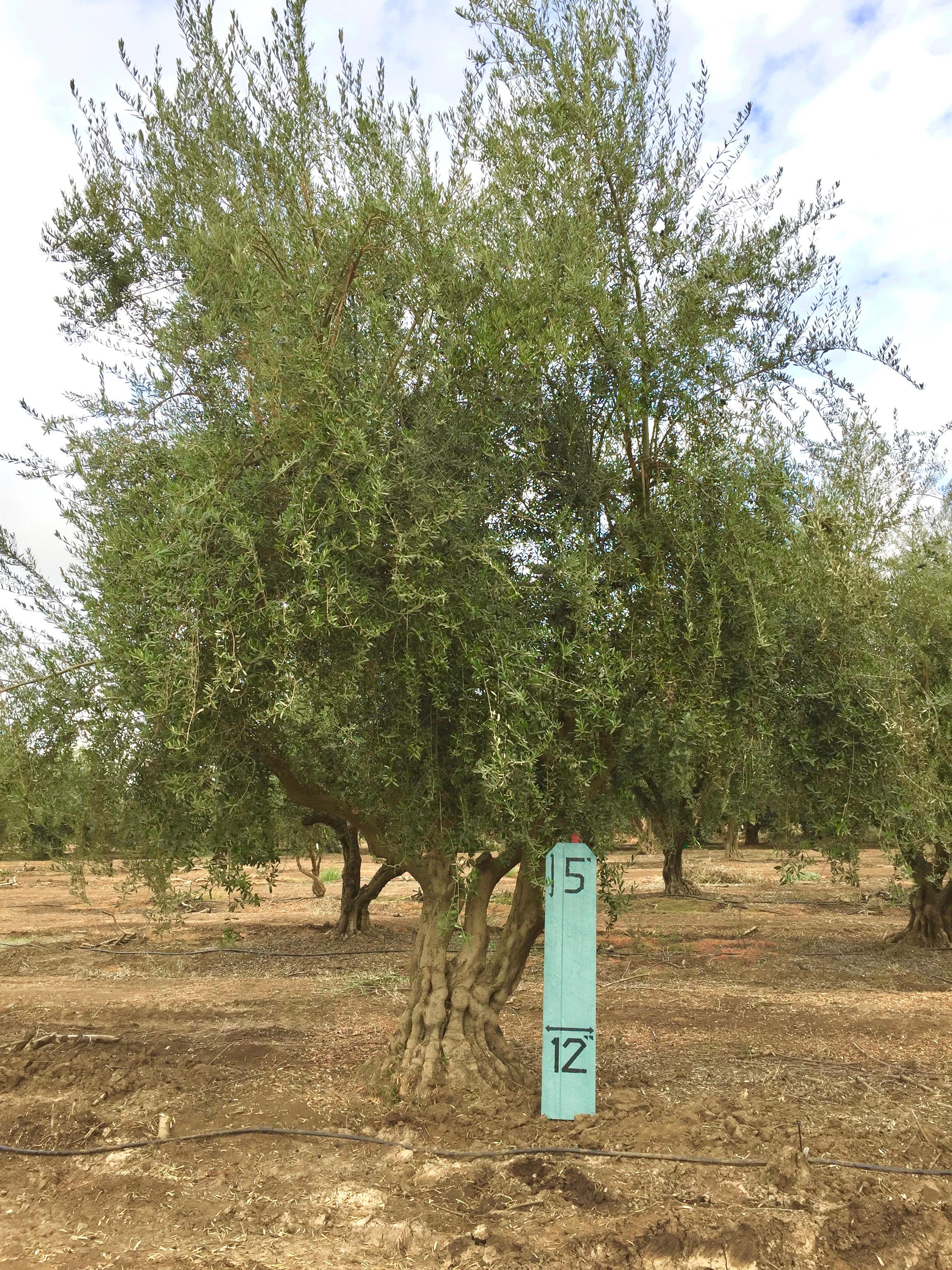 XLarge Olive Tree Image 2