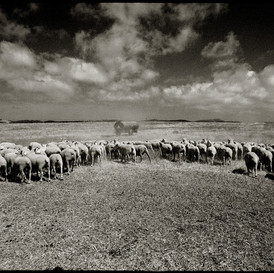Sheep in Alentejo, Portugal 2004