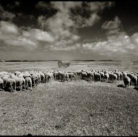 Sheep in Alentejo, Portugal 2004
