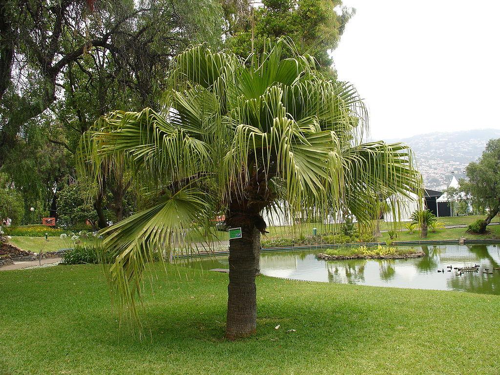 Fountain Palm