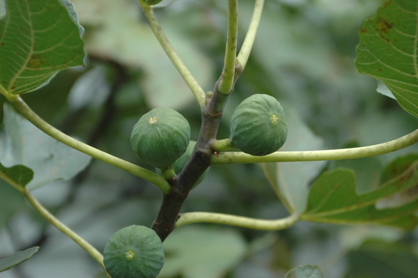 Common Fig Tree